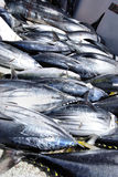 Dead Yellowfin Royalty Free Stock Photos