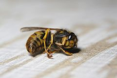 A dead wasp is laying upside down on the ground stock image