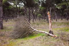 Dead Young Pine Tree Stock Photo