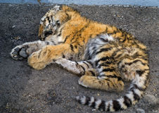 Dead young tiger 4 Stock Photo