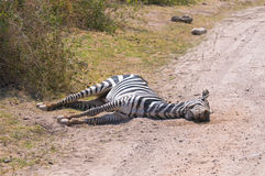 Dead zebra, amboseli national park, kenya Royalty Free Stock Photo