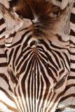 Dead zebra skin Royalty Free Stock Image
