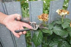 Deadheading roses. Deadheading is one of the easiest forms of pruning. Deadheading is one of the easiest forms of pruning stock images
