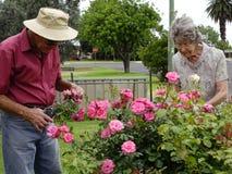 Deadheading Roses Stock Photography