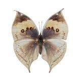 Deadleaf butterfly Stock Image