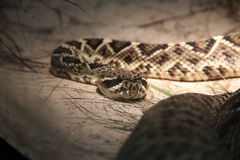 deadly змейка Стоковые Изображения