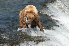 Deadly Catch. A brown bear who just caught a salmon Royalty Free Stock Photography
