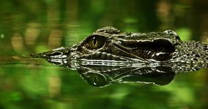 Crocodile Eyes Royalty Free Stock Photos