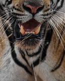 Deadly Jaw. Canines of the most powerful predator Royalty Free Stock Image