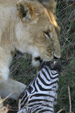 Deadly kiss. Lion carrying dead zebra Royalty Free Stock Image