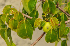 The deadly Manchineel Tree and apple fruit Royalty Free Stock Photography