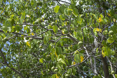 Deadly manchineel tree with fruit Stock Image