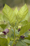 Deadly Nightshade. Atropa belladonna Poisonous plant stock images