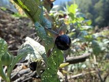 Deadly Nightshade, belladonna berry,. Deadly Nightshade, belladonna black berry, Atropa belladonna stock photo