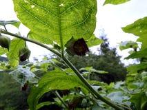 Deadly Nightshade, belladonna blossom, Royalty Free Stock Photos
