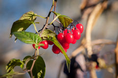 Deadly Nightshade Berries Royalty Free Stock Image