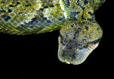 Deadly Snake. Green Deadly Snake on Black royalty free stock photography