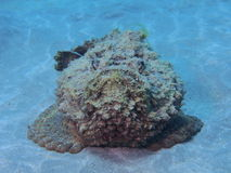 Deadly Stonefish Red Sea Royalty Free Stock Photography