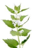 Deadnettle branco (álbum do Lamium) imagem de stock royalty free