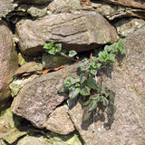 A Deadnettle grows in wall crevice, Lamium purpureum Stock Image