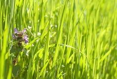 Deadnettle  Lamium  in grass Stock Photos