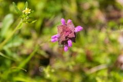 Deadnettle imagem de stock royalty free