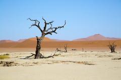 Deadvlei - árvores do espinho do camelo e dunas vermelhas Imagem de Stock