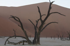 Deadvlei at Dawn in Sossusvlei Royalty Free Stock Photo