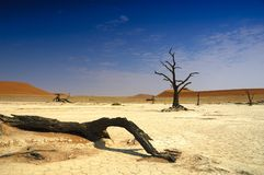 Deadvlei (Namib desert). Dead trees with big dunes in the background (Namib Desert, Namibia