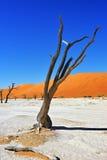 Deadvlei, Namib-Naukluft National Park, Namibia, Africa. Dead Camelthorn Trees against blue sky in Deadvlei, Sossusvlei. Namib-Naukluft National Park, Namibia stock photos