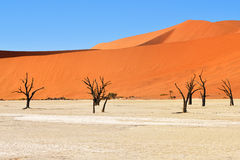 Deadvlei, Namib-Naukluft National Park, Namibia, Africa. Dead Camelthorn Trees against blue sky in Deadvlei, Sossusvlei. Namib-Naukluft National Park, Namibia royalty free stock photos