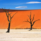 Deadvlei, Namib-Naukluft National Park, Namibia, Africa. Dead Camelthorn Trees against blue sky in Deadvlei, Sossusvlei. Namib-Naukluft National Park, Namibia stock images