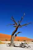 Deadvlei, Namib-Naukluft National Park, Namibia, Africa. Dead Camelthorn Trees against red dunes and blue sky in Deadvlei, Sossusvlei. Namib-Naukluft National royalty free stock photo