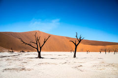 Deadvlei in Namibia. The trees in Deadvlei in the Namib desert in Namibia died long time ago, but remain frozen in time, blackened by Royalty Free Stock Image