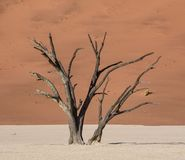Deadvlei Tree. Deadvlei in Namibia is a flat clay pan characterized by dark, dead camel thorn trees contrasted against the white pan floor stock photography