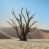 Deadvlei Tree. Deadvlei in Namibia is a flat clay pan characterized by dark, dead camel thorn trees contrasted against the white pan floor royalty free stock photo
