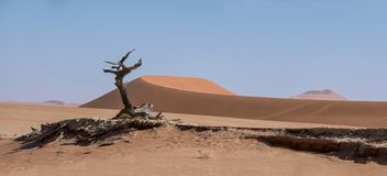 Deadvlei Tree. Deadvlei in Namibia is a flat clay pan characterized by dark, dead camel thorn trees contrasted against the white pan floor royalty free stock photography