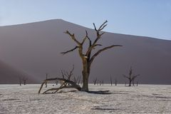 Deadvlei Tree. Deadvlei in Namibia is a flat clay pan characterized by dark, dead camel thorn trees contrasted against the white pan floor stock photos