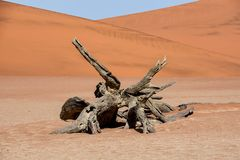 Dead Vlei tree. Deadvlei in Namibia is a flat clay pan characterized by dark, dead camel thorn trees contrasted against the white pan floor royalty free stock photos