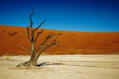 Deadvlei Namibia dead trees, close up of one tree royalty free stock photography