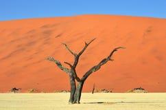 Deadvlei, Sossusvlei. Namib-Naukluft National Park, Namibia. Dead Camelthorn Trees against blue sky in Deadvlei, Sossusvlei. Namib-Naukluft National Park stock image