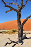 Deadvlei, Sossusvlei. Namib-Naukluft National Park, Namibia. Dead Camelthorn Trees against blue sky in Deadvlei, Sossusvlei. Namib-Naukluft National Park royalty free stock photos