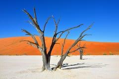 Deadvlei Sossusvlei Namibia Royaltyfria Bilder