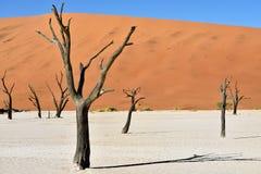 Deadvlei, Sossusvlei. Namibia. Dead Camelthorn Trees against blue sky in Deadvlei, Sossusvlei. Namib-Naukluft National Park, Namibia, Africa Royalty Free Stock Photography