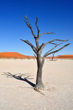 Deadvlei, Sossusvlei. Namibia Royalty Free Stock Image