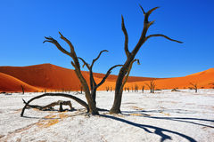 Deadvlei, Sossusvlei. Namibia. Dead Camelthorn Trees against red dunes and blue sky in Deadvlei, Sossusvlei. Namib-Naukluft National Park, Namibia, Africa Royalty Free Stock Photography
