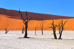 Deadvlei, Sossusvlei. Namibia. Dead Camelthorn Trees against red dunes and blue sky in Deadvlei, Sossusvlei. Namib-Naukluft National Park, Namibia, Africa Royalty Free Stock Photo