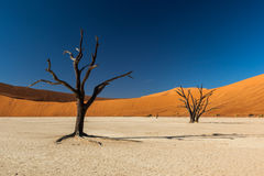 Deadvlei Tree. Deadvlei is a white clay pan located near the more famous salt pan of Sossusvlei, inside the Namib-Naukluft Park in Namibia Stock Images