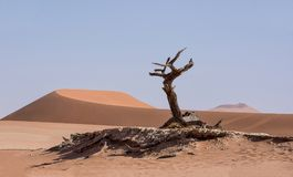 Deadvlei Tree. Deadvlei in Namibia is a flat clay pan characterized by dark, dead camel thorn trees contrasted against the white pan floor royalty free stock images