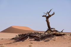 Deadvlei Tree. Deadvlei in Namibia is a flat clay pan characterized by dark, dead camel thorn trees contrasted against the white pan floor royalty free stock image